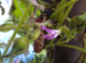 アサガオの芋虫の一部(ぼかし加工済)