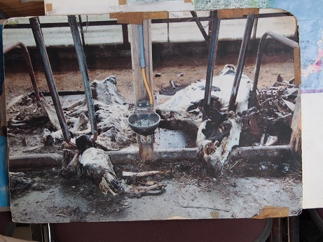 P9280289 餓死した牛