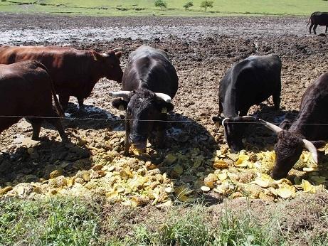 P9280265 パイナップル牛