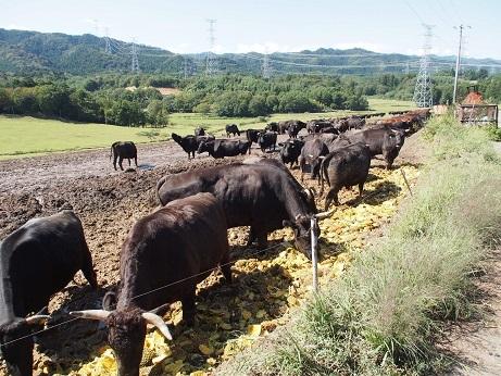 P9280266 牛たくさん