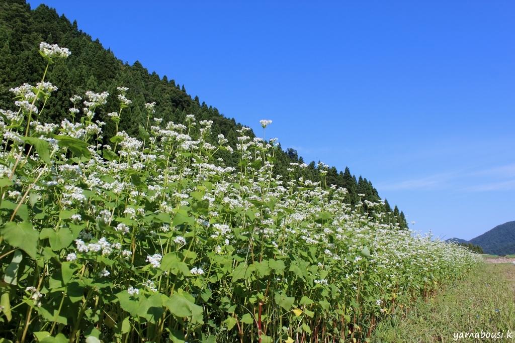 白山ろくの蕎麦畑 IMG_5491