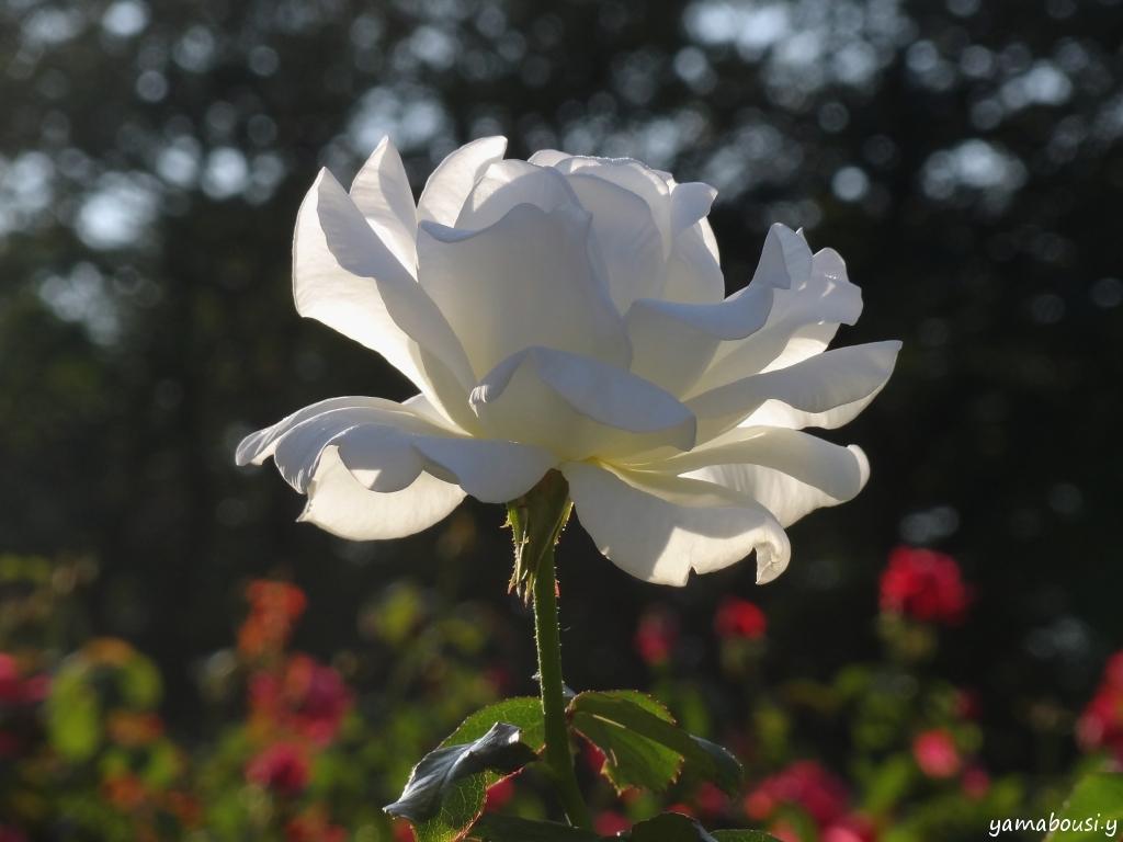 白薔薇01