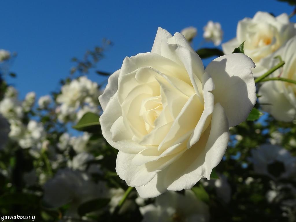 白薔薇022日