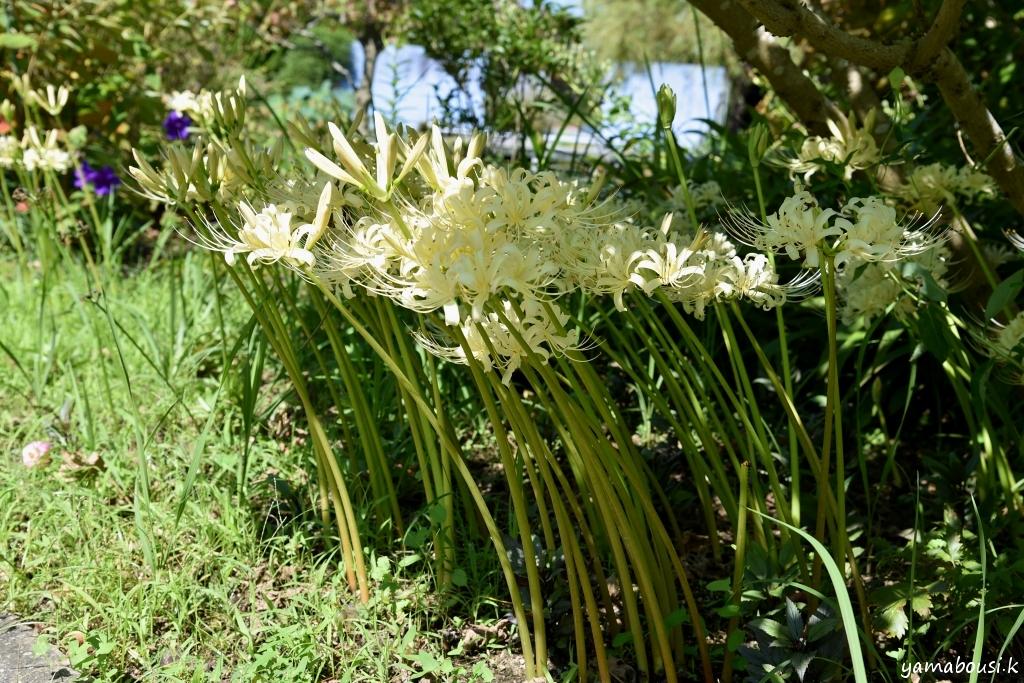 白花ヒガンバナ DSC_2256