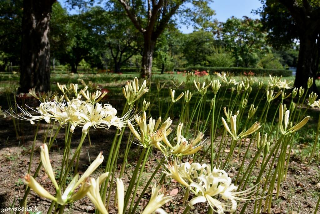 白花ヒガンバナ DSC_2575