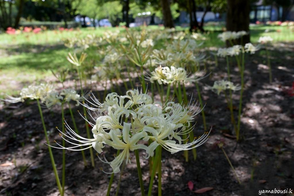 白花ヒガンバナ DSC_2576