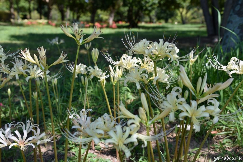白花ヒガンバナ DSC_2603
