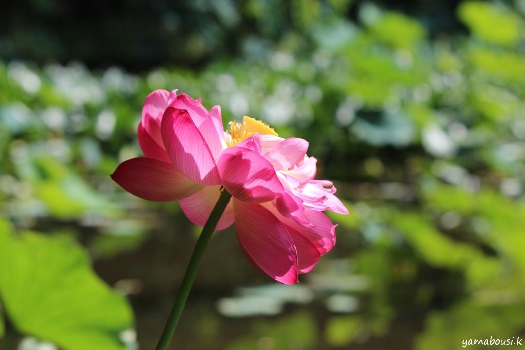 蓮の花 IMG_6001