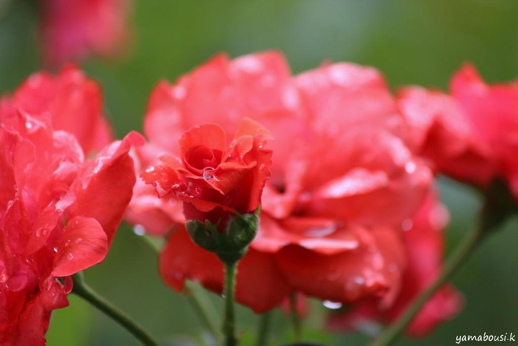 バラの花 IMG_7292