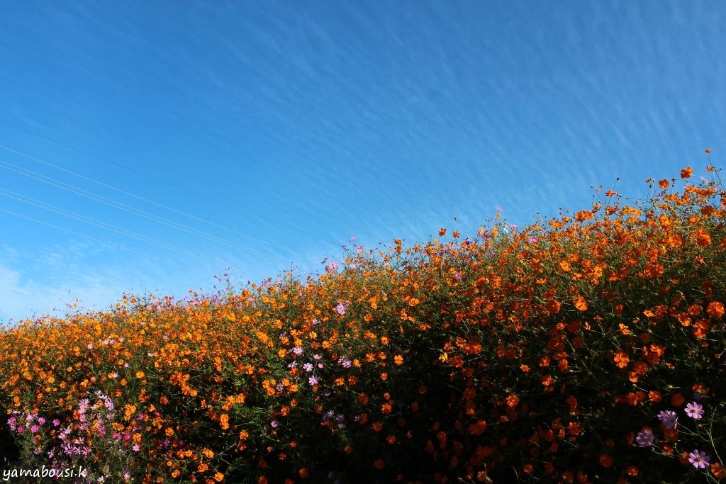 秋桜 IMG_7802A