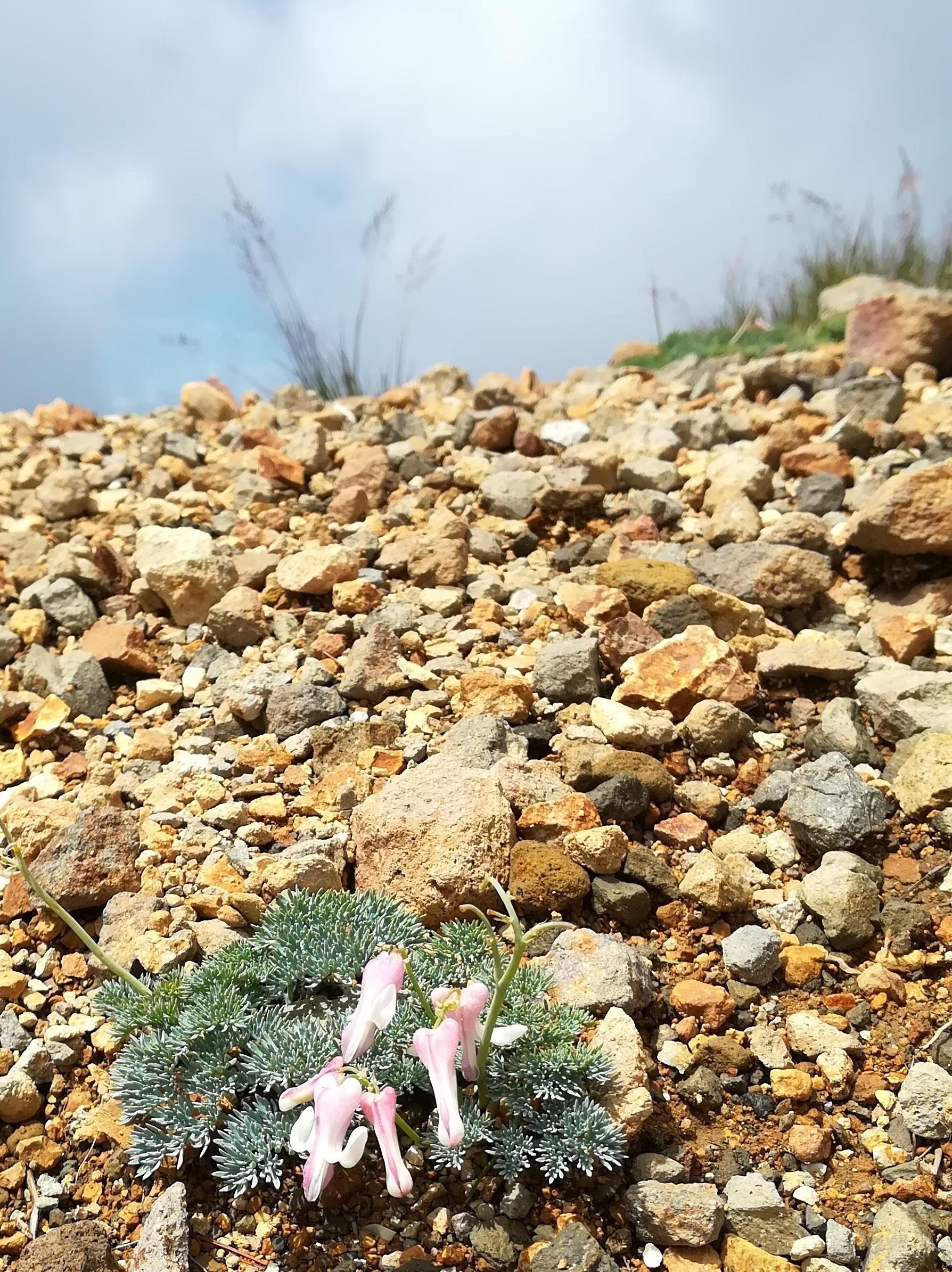 根石岳登山道わきのコマクサ