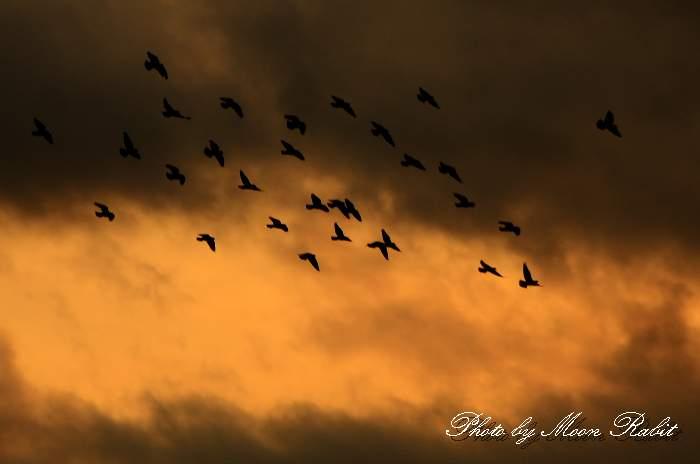 夕空の鳩の群れ 愛媛県西条市古川