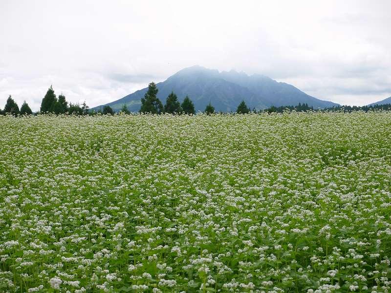 パノラマ絶景!一面に広がる白い花畑は圧巻「波野そば畑(熊本県阿蘇市)」☆ドライブ旅