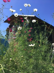 コスモスと小屋