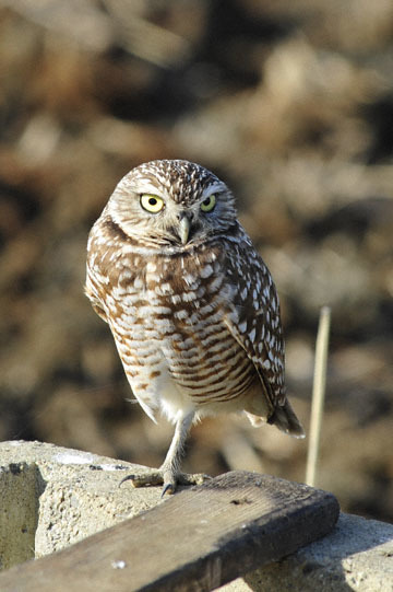 blog 103 Deleven Road, Burrowing Owl, Deleven, CA_DSC5149-12.1.17.(1) copy