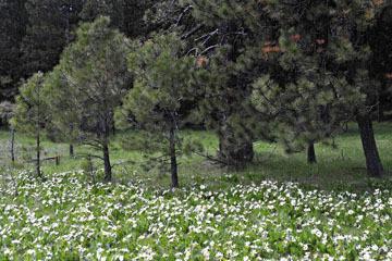 blog 56 Ochoco NF, McKay Creek, Forest Road #27, Pine Forest & White Mule Ears_DSC2539-5.11.16.(1).jpg