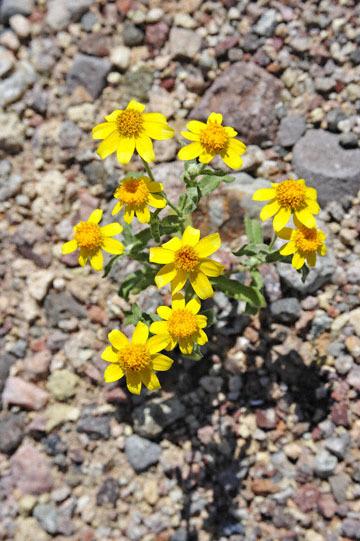 blog 14 Beaty, NV to Death Valley, CA~374W-190E, Corkscrew Peak to Badwater Basin, Wallace's Woolly Daisy ? (Antheropeas wallacei), CA__DSC7910-3.23.17.jpg