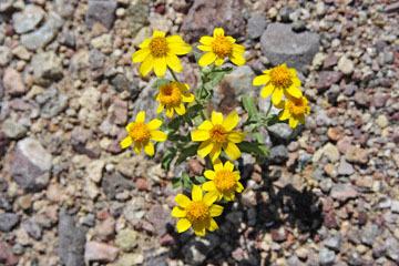 blog 14 Beaty, NV to Death Valley, CA~374W-190E, Corkscrew Peak to Badwater Basin, Colored Hills & Brittlebush, erosion, CA 2_DSC7908-3.23.17.jpg