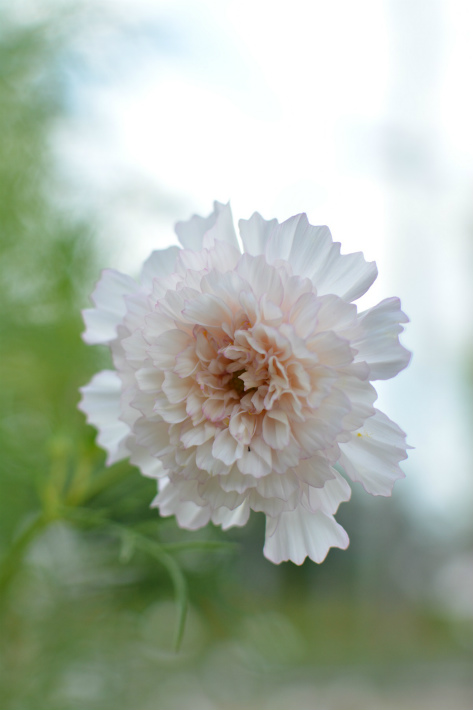 ブログ八重コスモス1