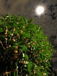 月明かりの下のキンモクセイ