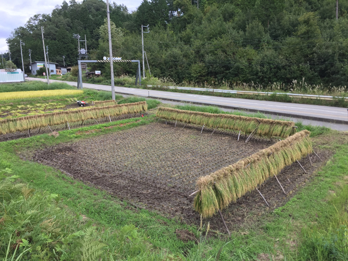 農繁期 2018 秋 たかやまもち稲刈り 1