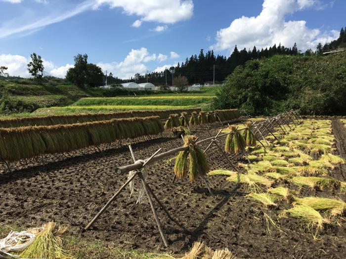 農繁期 2018 秋 コシヒカリ稲刈り 1