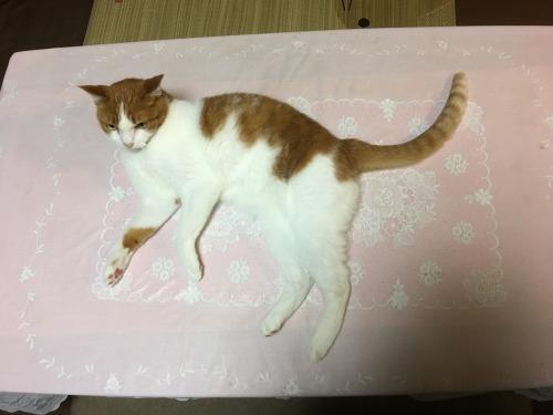 ブログNo.1305(猫の標本)2