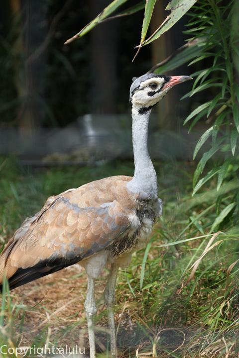 セネガルショウノガン のいち動物公園 画像