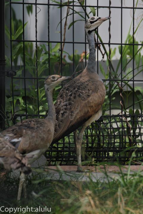 セネガルショウノガン 動物写真
