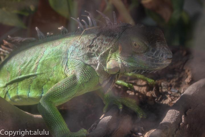 東武動物公園 グリーンイグアナ 画像