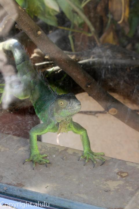 東武動物公園 グリーンイグアナ