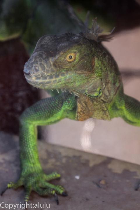 グリーンイグアナ 動物写真