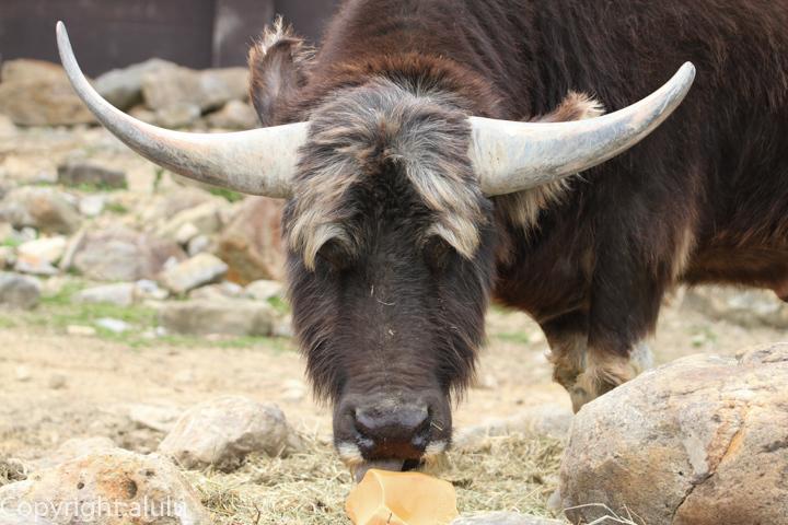 アジアスイギュウ 動物園へ写真の旅